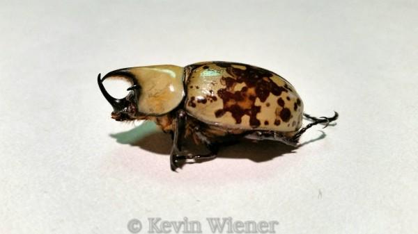 beetle, stag beetle
